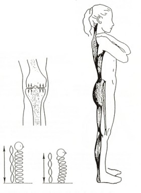 chaine_musculaire